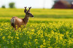 Mule deer in Canola