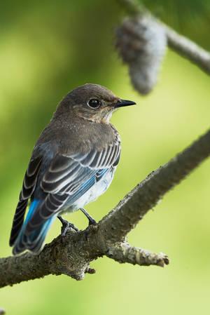 Mountain Bluebird in Pine by JestePhotography