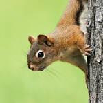 Red Squirrel- Peeking