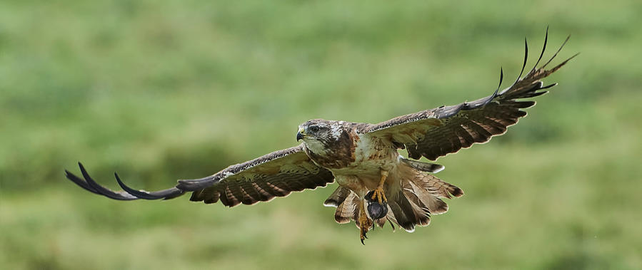 Swainson's Hawk - The hunter by JestePhotography