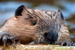 Beaver - Log roller by JestePhotography