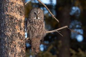 Great Grey Owl by JestePhotography