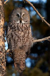 Great Grey Owl - woodland Portait