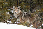 Coyote - Northern Forests2