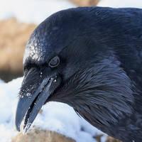 Raven - Eyeful