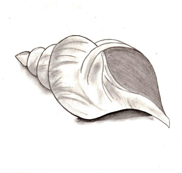 The Gallery For Gt Seashell Pencil Sketch
