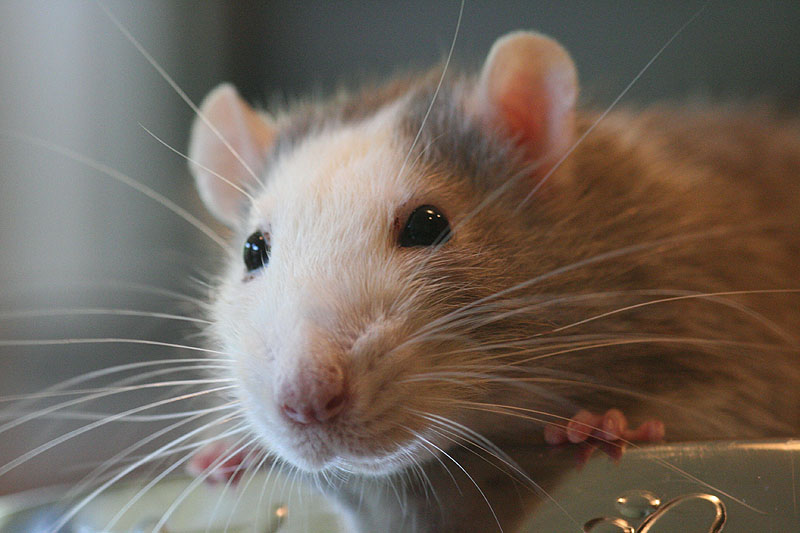 Ratty Danny inna Dog Foodbowl
