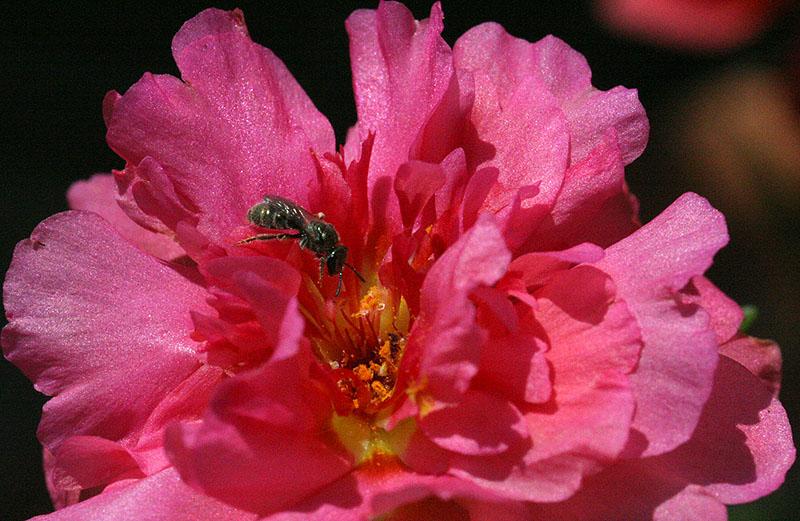 Portulaca flower with tiny bee