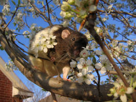 Spring and Rats Series - Zumi by Kitzira