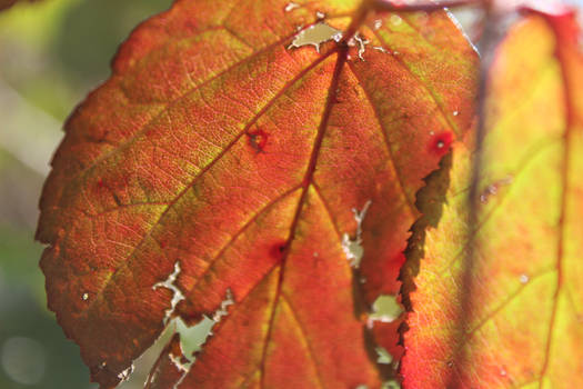 Branble Leaves