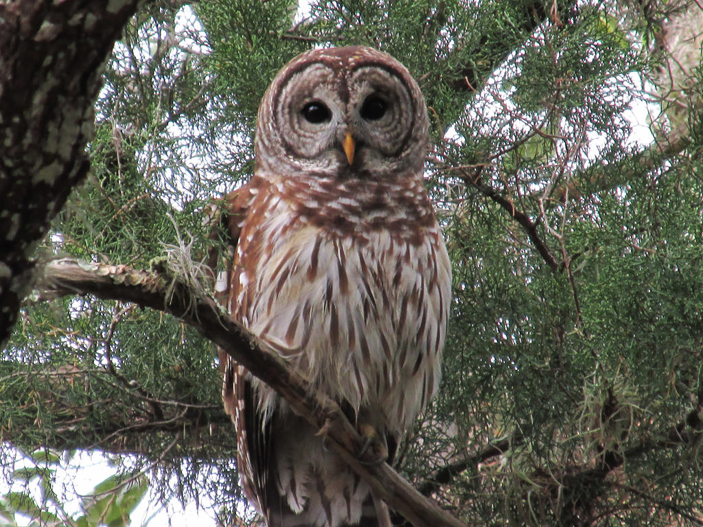 Barred Owl by Stoopid1
