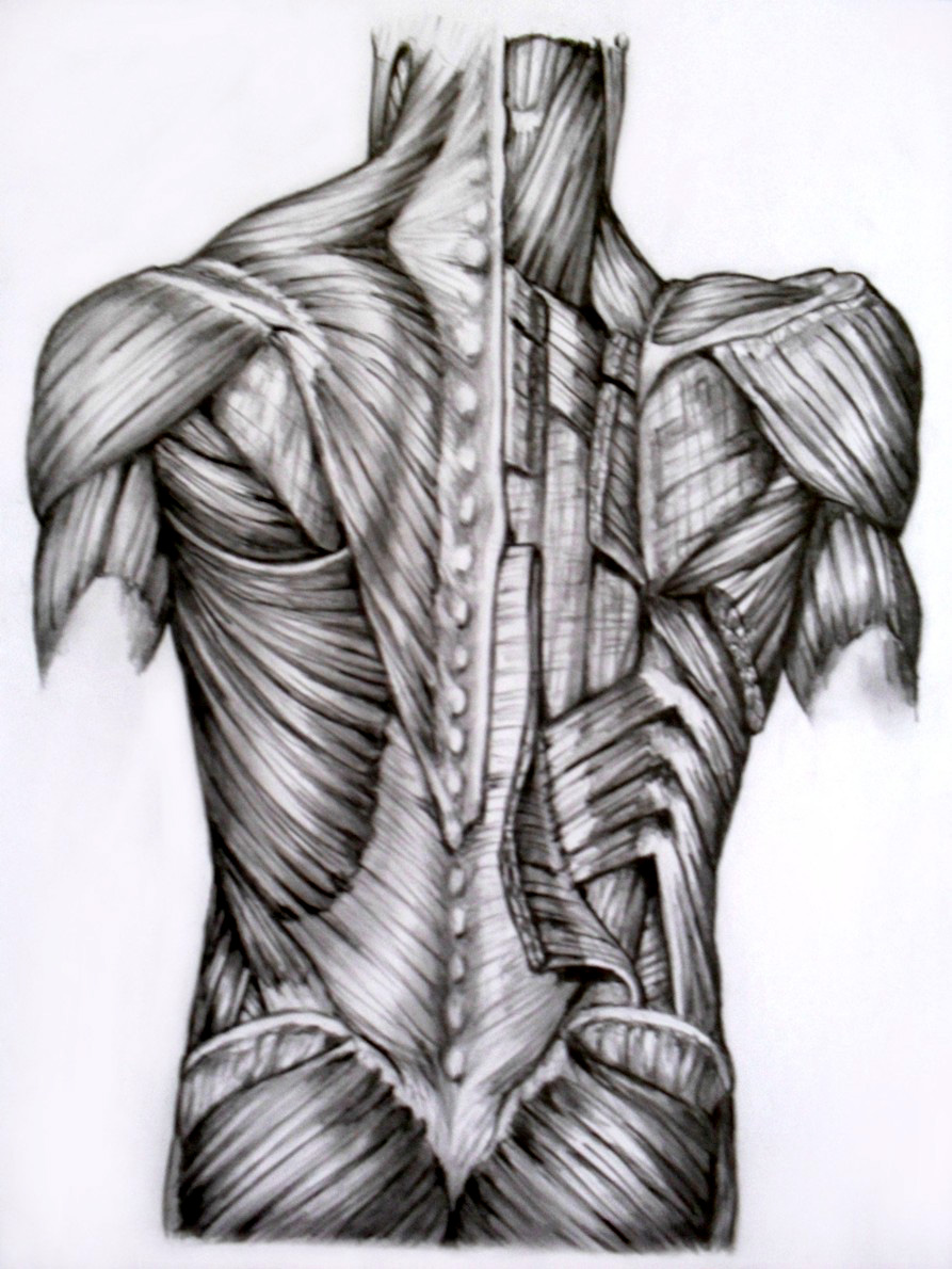 It is a graphic of Decisive Back Muscle Drawing