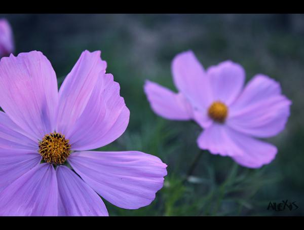 http://fc03.deviantart.net/fs71/f/2010/200/d/2/Flowers_by_Jaimeca_overblog.jpg