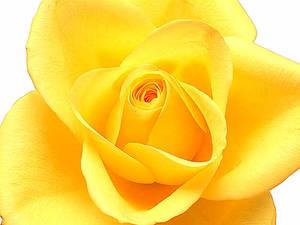 Yellow roseYellow rose