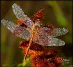 Dewdrop Dragon Fly by MichaelAtman