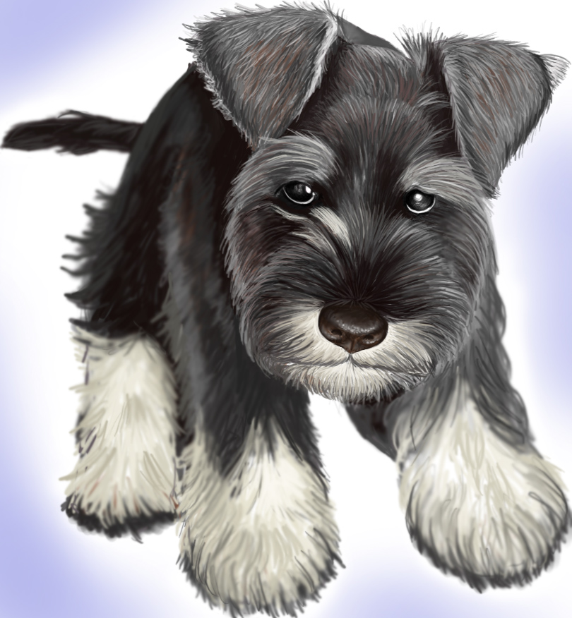 Trimming A Schnauzer Hairstyle Gallery