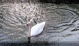 Swan Ripples by LinaraQ