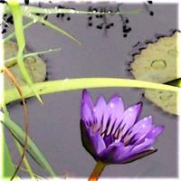 The Lotus by LinaraQ
