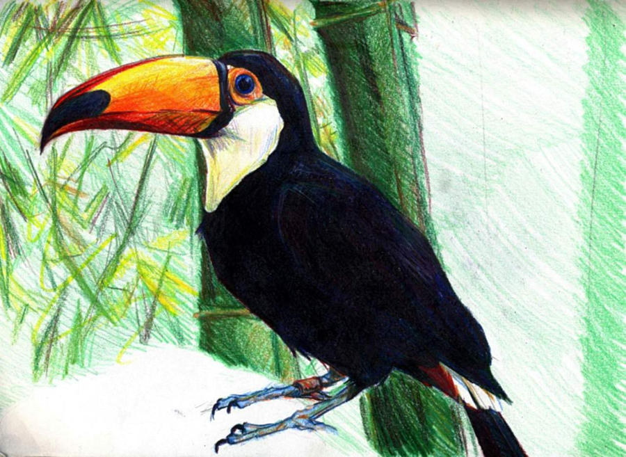 Toucan Bird Drawing Color w- Value - Toco ...