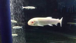 Albino type of Kokanee by RiverKpocc