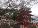Sakura and Chureito Pagoda