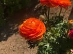 Orange Ranunculus asiaticus