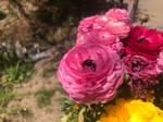 Pink Ranunculus asiaticus