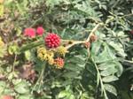 Fruits of Calliandra haematocephala