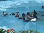 Bathing pigeons