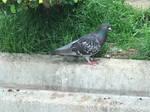 Pigeon 24May2020