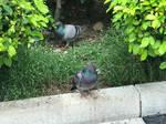 Pigeons 24May2020
