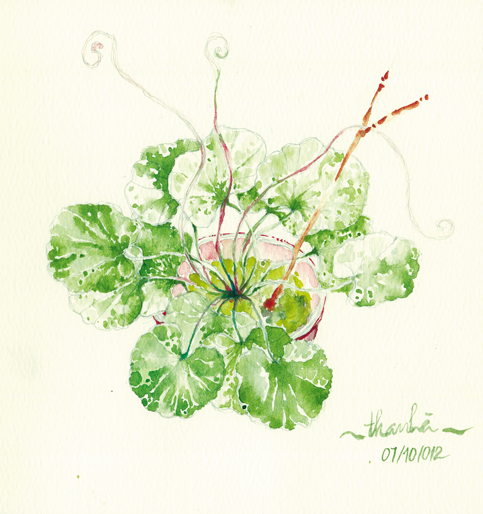 Centella asiatica by YuToyuba