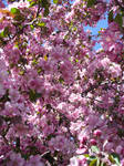 Pink Blossoms 4