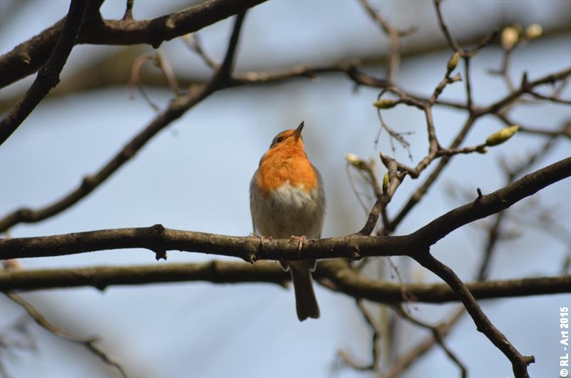 European robin 2 by reiner67