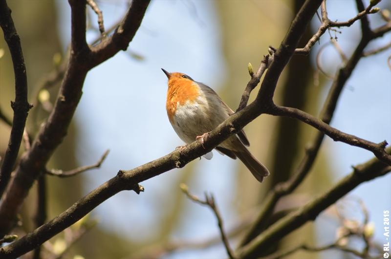 European robin 3 by reiner67