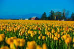Tulip Fields Yellow and Red