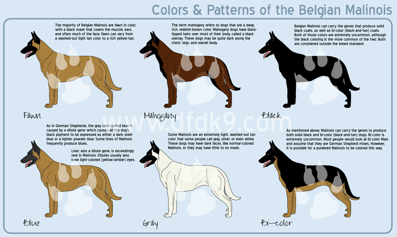 "feliscanis:"" Belgian Malinois coat colours (click photo to enlarge ..."