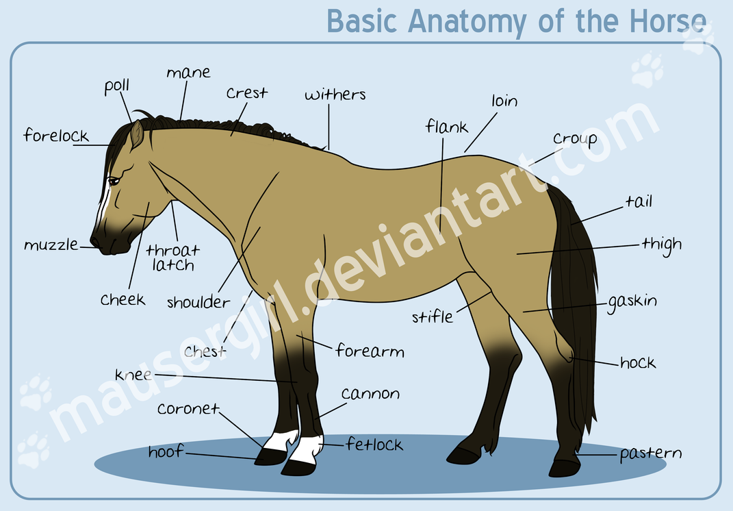 Basic Anatomy of the Horse by MauserGirl on DeviantArt