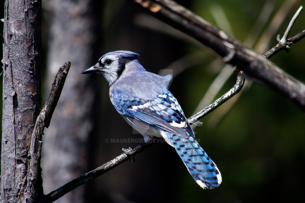 Bluejay by MauserGirl