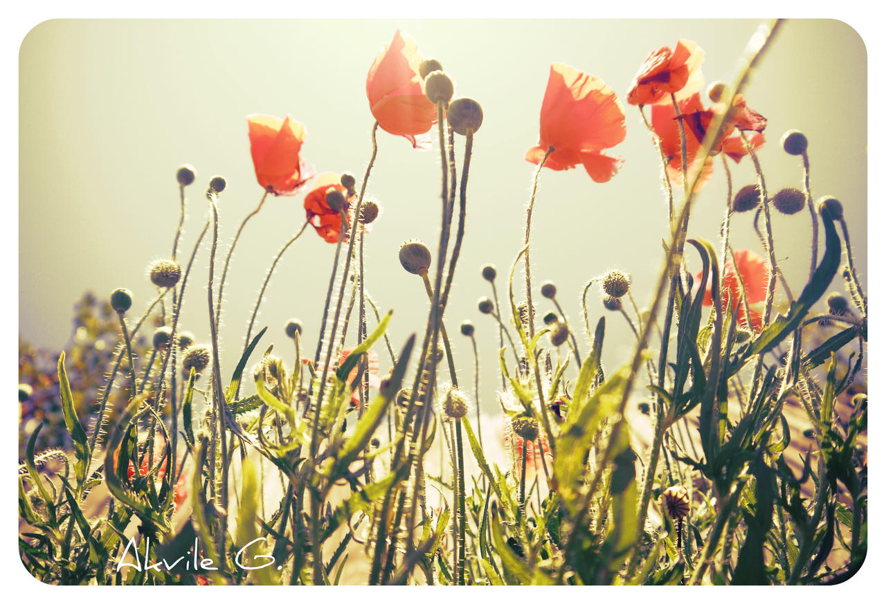 Poppies are nicer  V by lavki