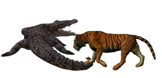 Saltwater crocodile vs tiger - photo#14