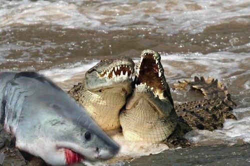 Crocodile vs shark