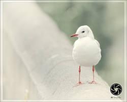 Blackheaded Gull by Mfotografie
