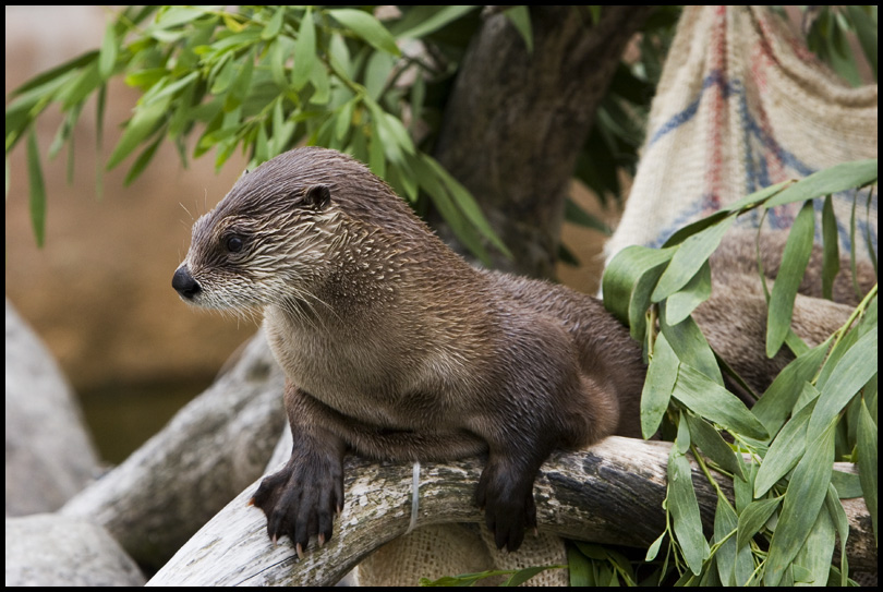 otter by altjeringa