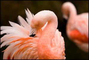 flamingo by altjeringa