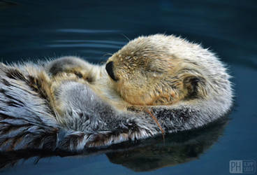 dreaming otter by philipphuber
