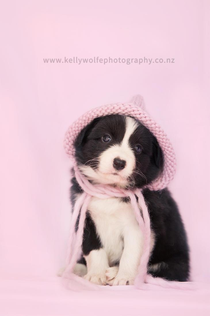 Border Collie Puppy by KiwiTakeFlight