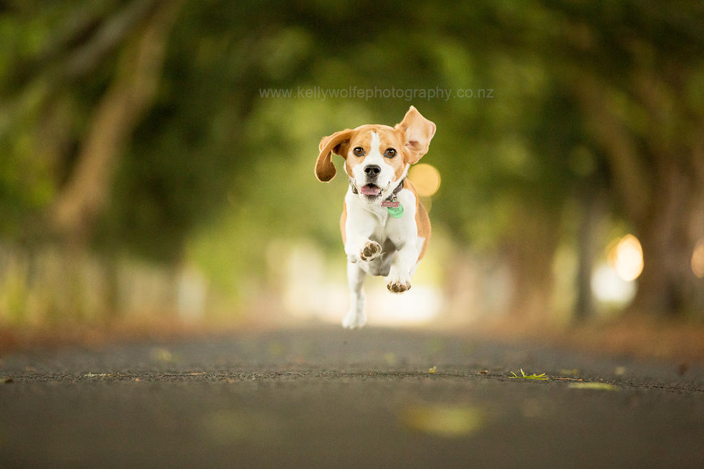 Bella the Beagle by KiwiTakeFlight