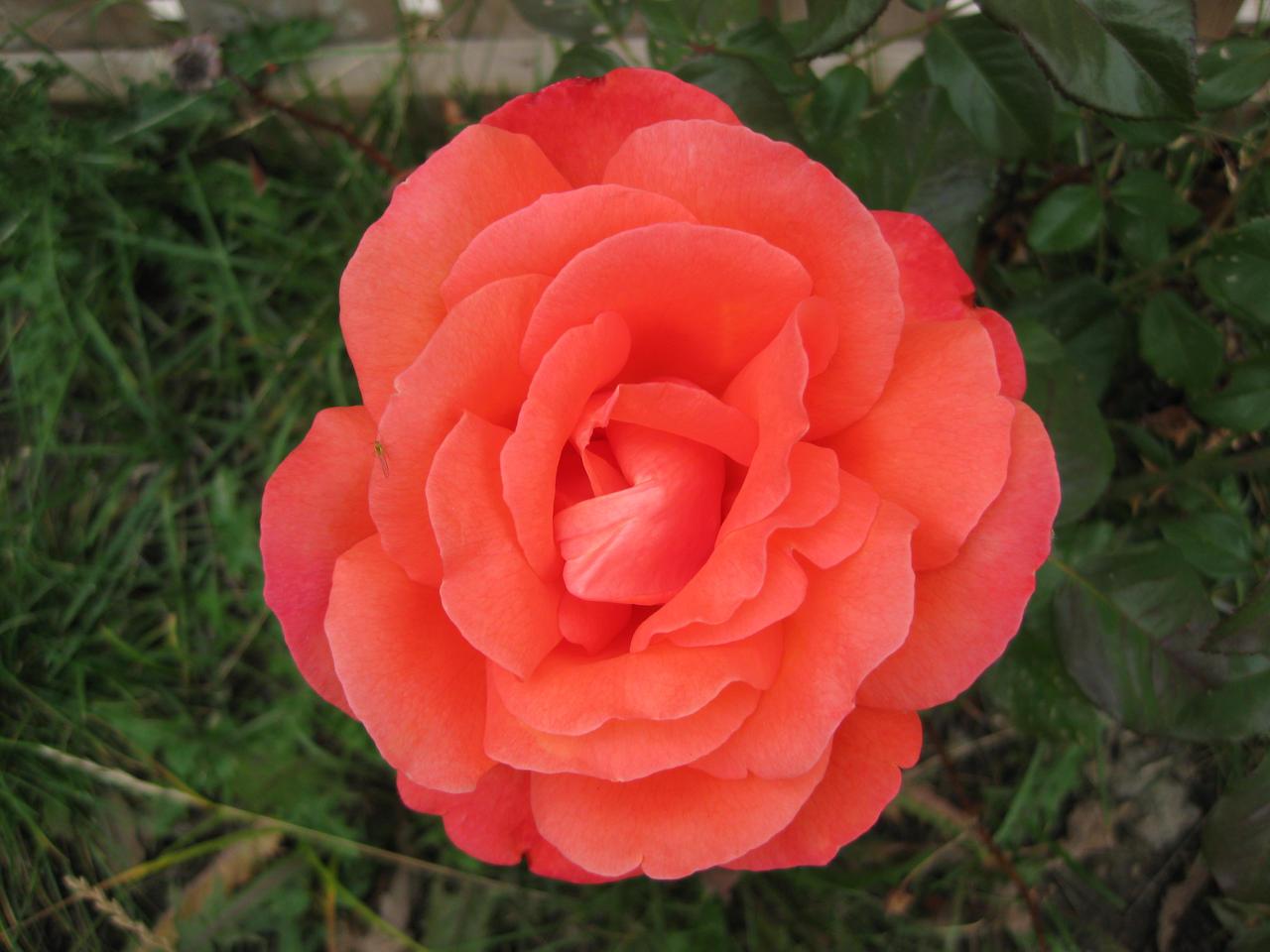 pretty rose by nikianime on deviantart, Beautiful flower