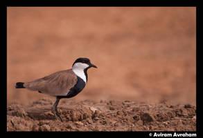 Spur-winged Lapwing by avirama85